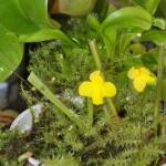 Utricularia subulata plant - bladderwort