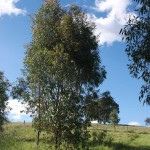 Small Eucalypts, 16th October 2011