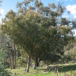 Various Eucalypts, 16th October 2011