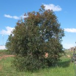 Small Spotted Gum, 16th October 2011