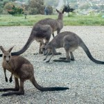 Kangaroos in the front yard