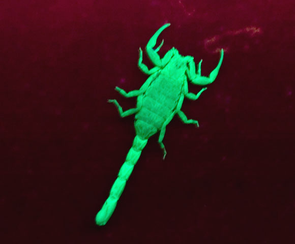 Marbeled Scorpion under UV