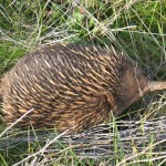 Spike the Echidna