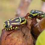Fiddler Beetles