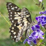 Lime or Chequered Swallowtail Butterfly
