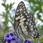 Lime or Chequered Swallowtail side profile.