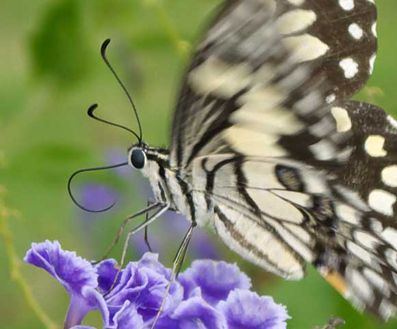 Lime or Chequered Swallowtail